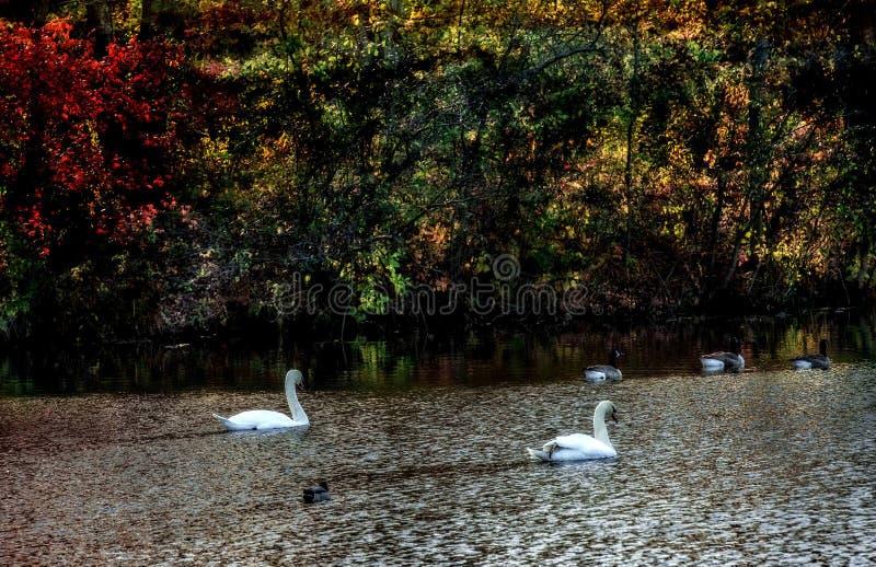 Cisnes e gansos fotografia de stock