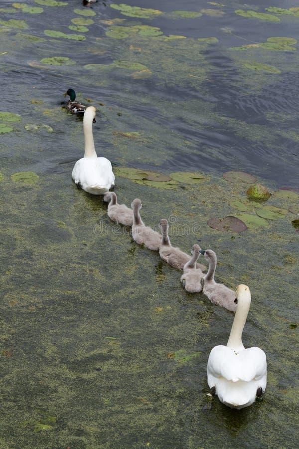 Cisnes e cisnes novos imagens de stock
