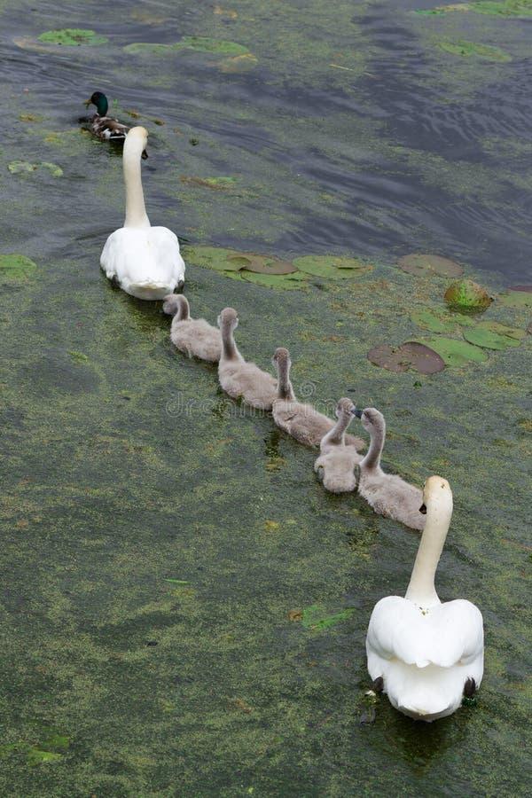 Cisnes e cisnes novos imagens de stock royalty free