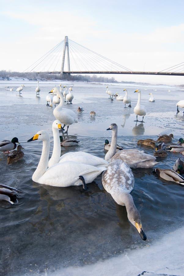 Cisnes e patos no rio do gelo imagem de stock