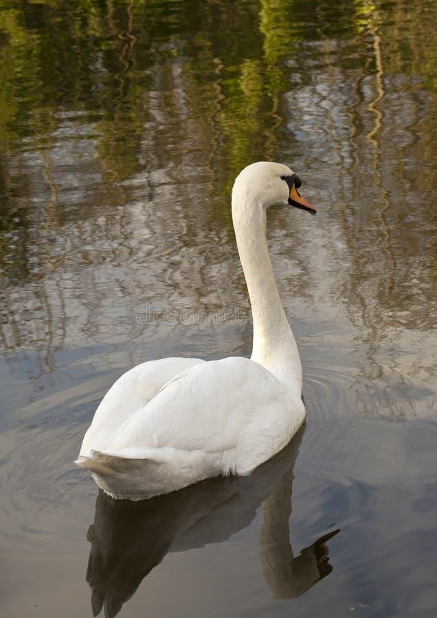 Cisnes e reflexões fotografia de stock