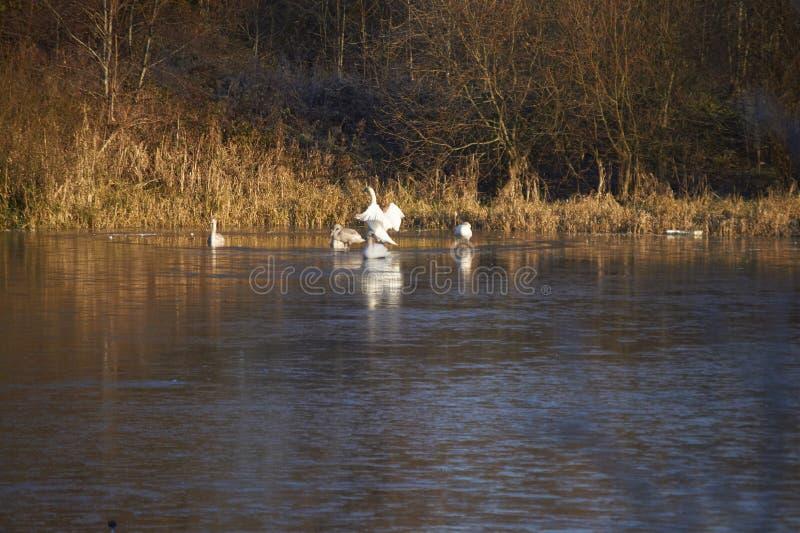 Cisnes e sinetes fotografia de stock royalty free