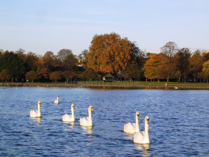 Cisnes em Hyde Park fotos de stock royalty free