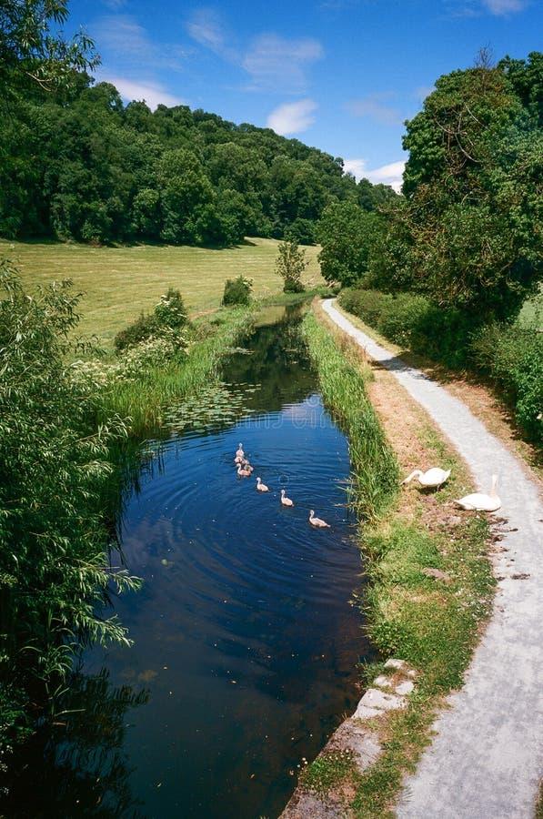Cisnes em Montgomery Canal em Gales, Reino Unido foto de stock royalty free