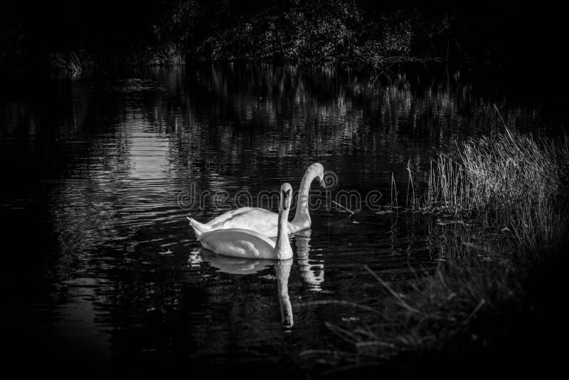 Cisnes em preto e branco fotografia de stock royalty free
