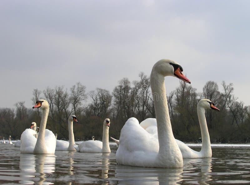 Cisnes em um lago imagem de stock