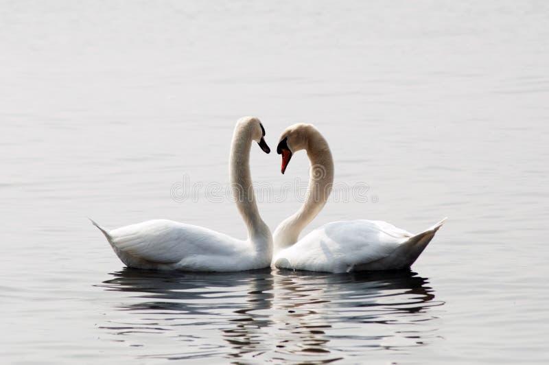 Cisnes en amor imagenes de archivo