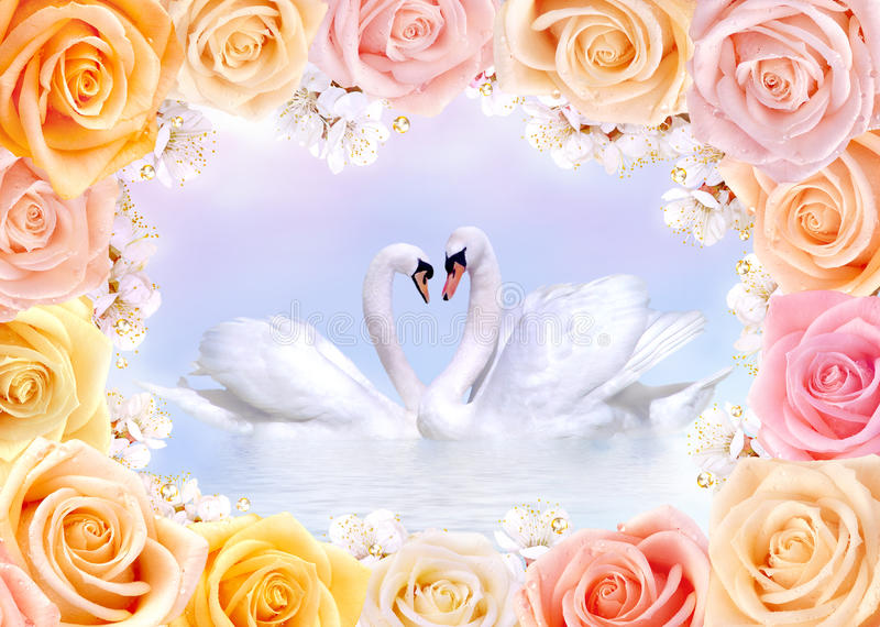 Cisnes en amor enmarcados por las rosas y las flores de la cereza foto de archivo