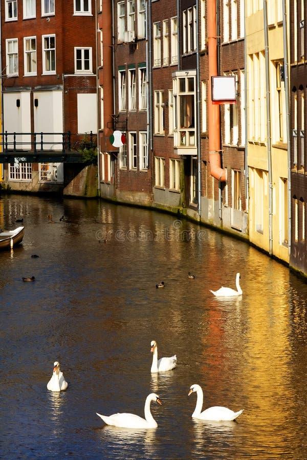 Cisnes en Amsterdam fotografía de archivo libre de regalías