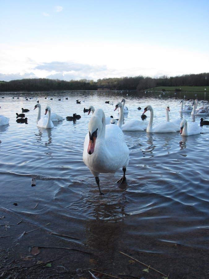 Cisnes en Cosmeston fotografía de archivo libre de regalías