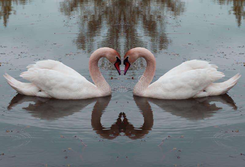 Cisnes en el amor - amor para la vida, amor eterno fotografía de archivo