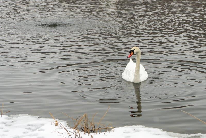 Cisnes en el lago congelado en invierno Los pescados de la captura de los pájaros en el invierno foto de archivo