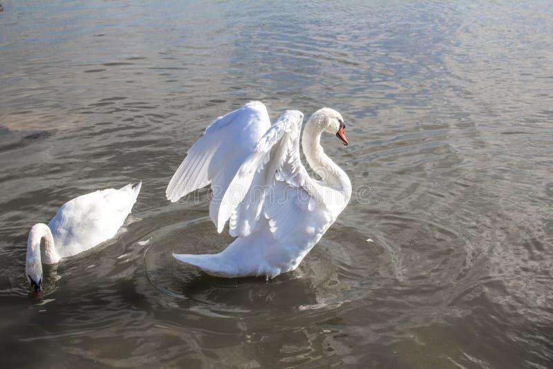 Cisnes en el lago en Crimea foto de archivo libre de regalías