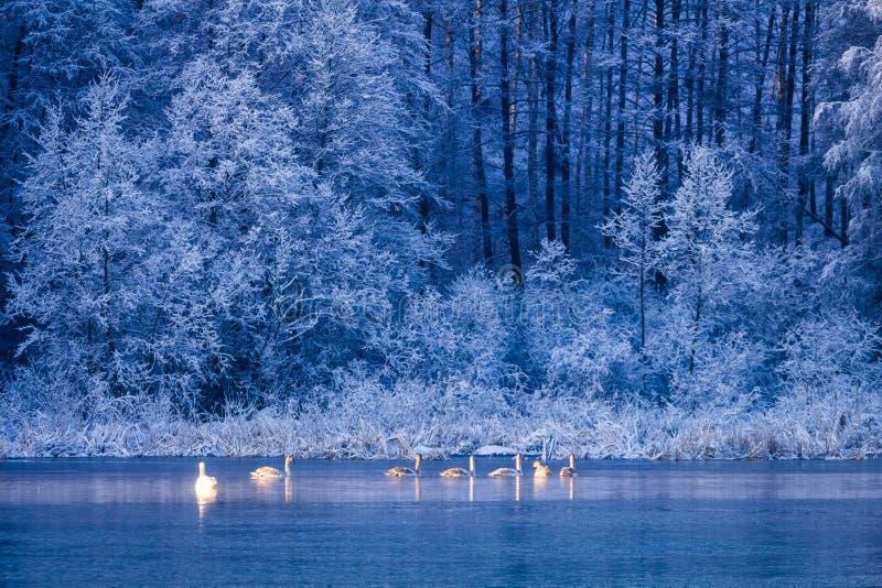 Cisnes en el lago del invierno en la salida del sol y el bosque congelado fotos de archivo