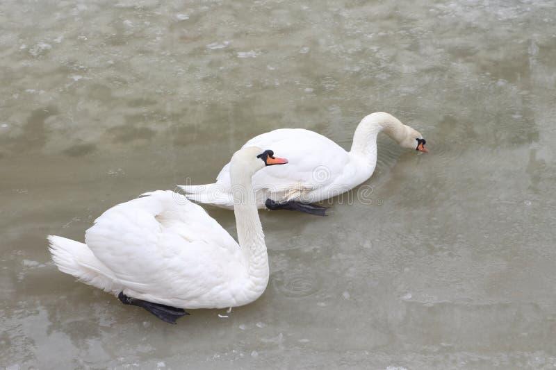 Cisnes en el lago en la primavera fotografía de archivo