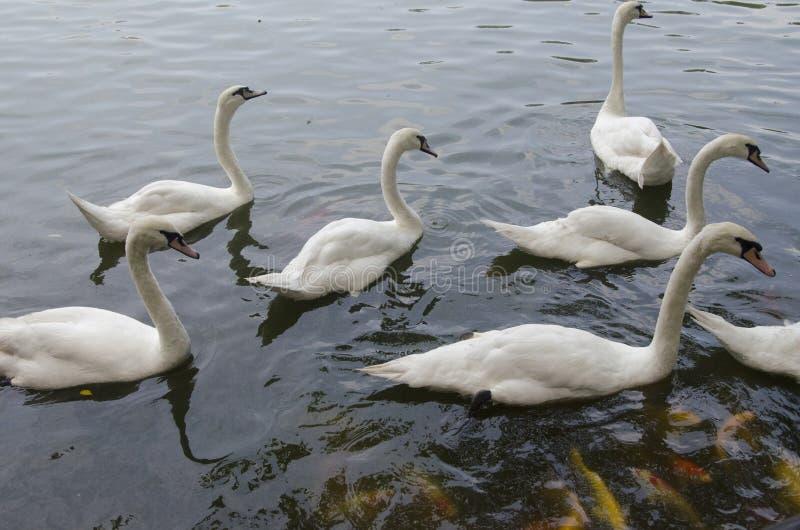 Cisnes en el lago fotografía de archivo