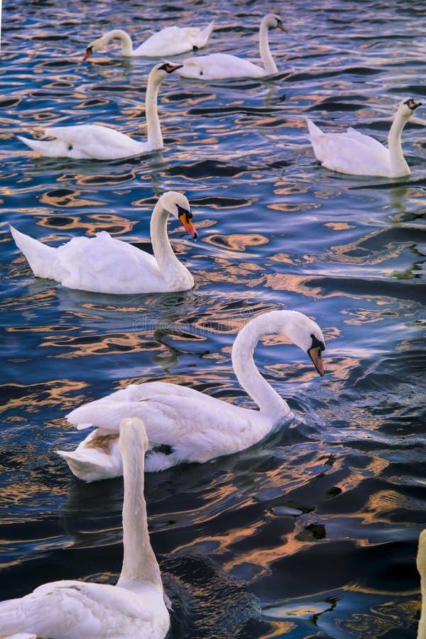 Cisnes en el mar fotografía de archivo libre de regalías
