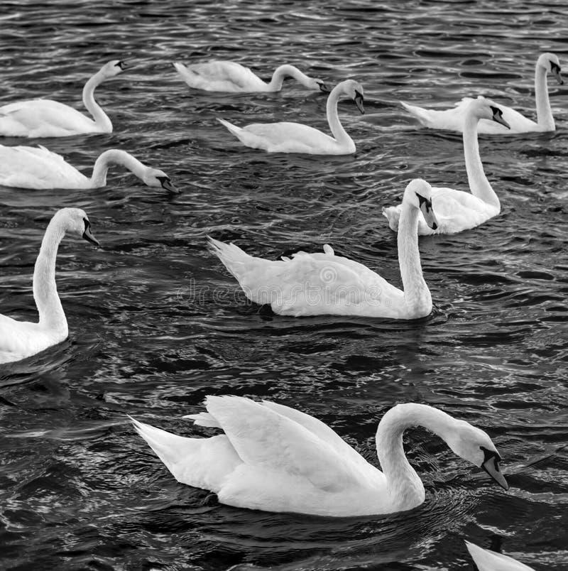 Cisnes en el mar fotos de archivo