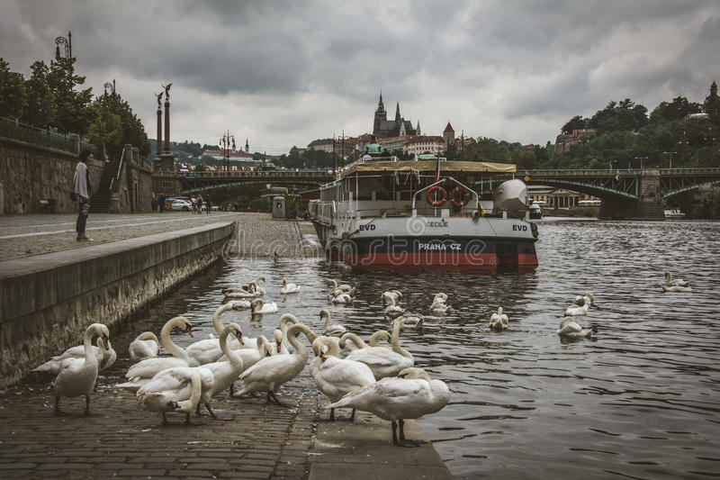 Cisnes en el río de Moldava en Praga, Bohemia imagenes de archivo