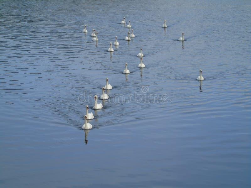 Cisnes en la formación del acorazado fotografía de archivo libre de regalías