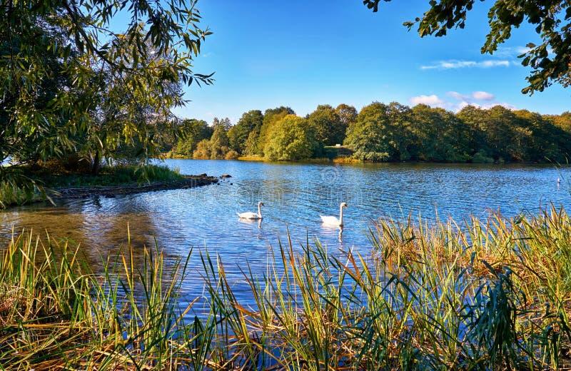 Cisnes en la pequeña isla de Lankower Véase en Schwerin fotos de archivo