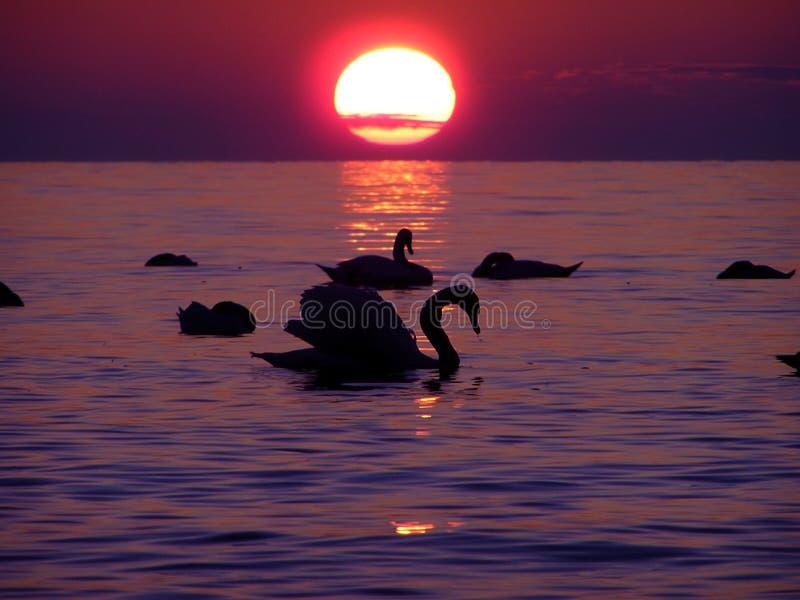 Cisnes en la puesta del sol. fotos de archivo libres de regalías
