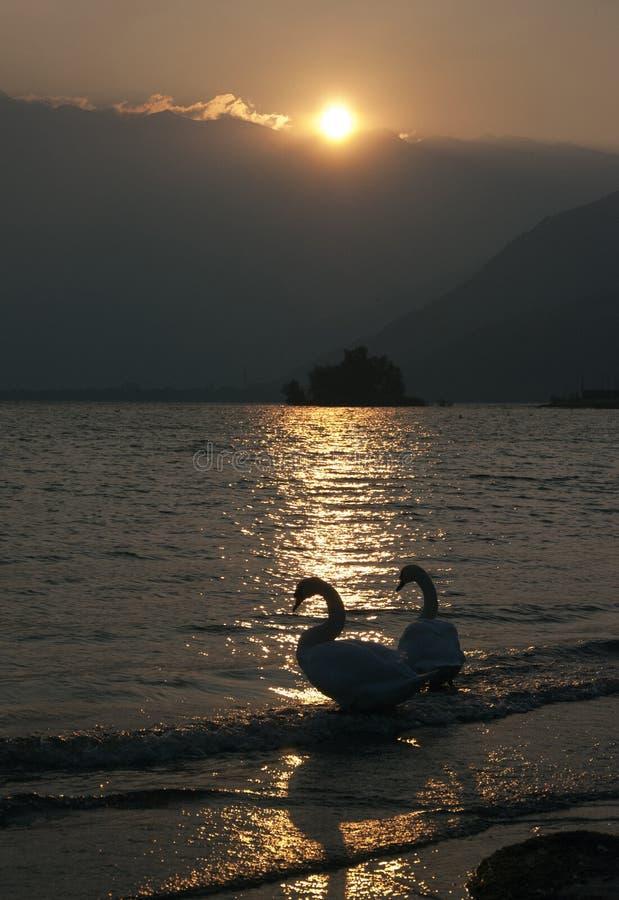 Cisnes en la puesta del sol foto de archivo