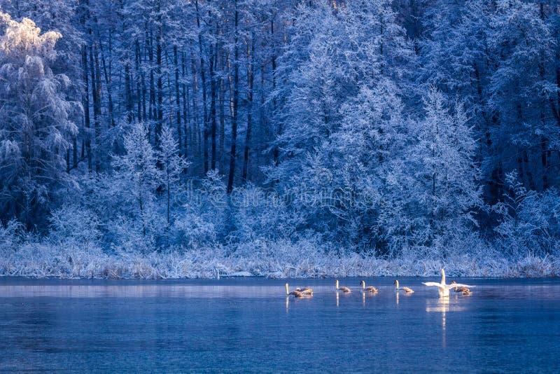 Cisnes en la salida del sol en el lago del invierno fotos de archivo libres de regalías