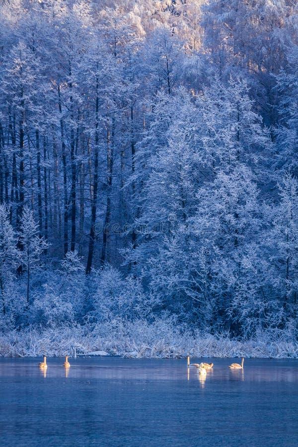 Cisnes en la salida del sol en el lago del invierno en bosque congelado en fondo imágenes de archivo libres de regalías