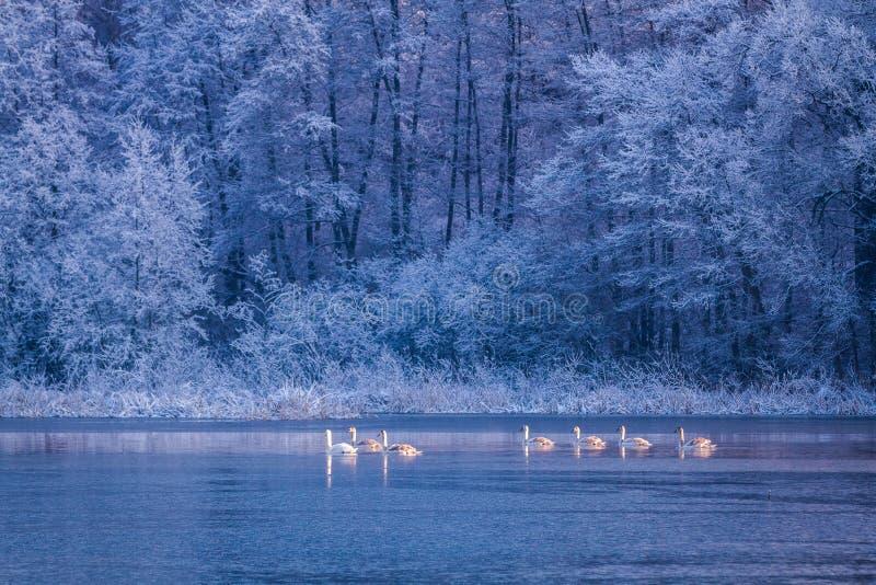 Cisnes en la salida del sol en el lago en invierno en Polonia imagenes de archivo