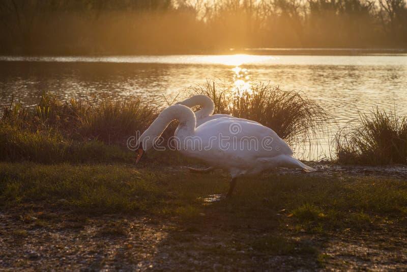 Cisnes en la salida del sol por el lago fotos de archivo libres de regalías