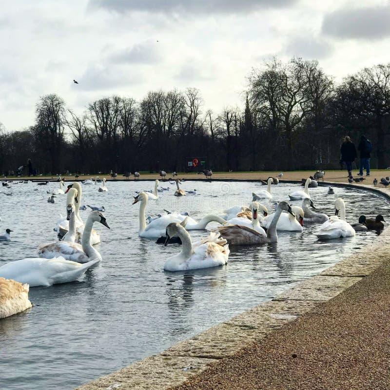 Cisnes en Londres foto de archivo libre de regalías