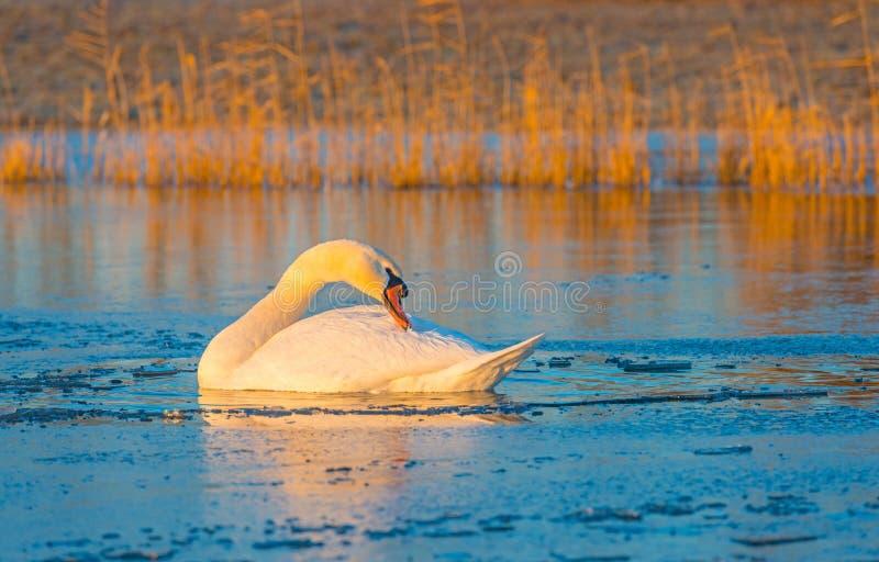 Cisnes en un lago congelado en la salida del sol fotos de archivo libres de regalías