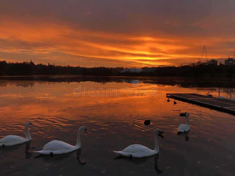 Cisnes en un lago - Londres foto de archivo
