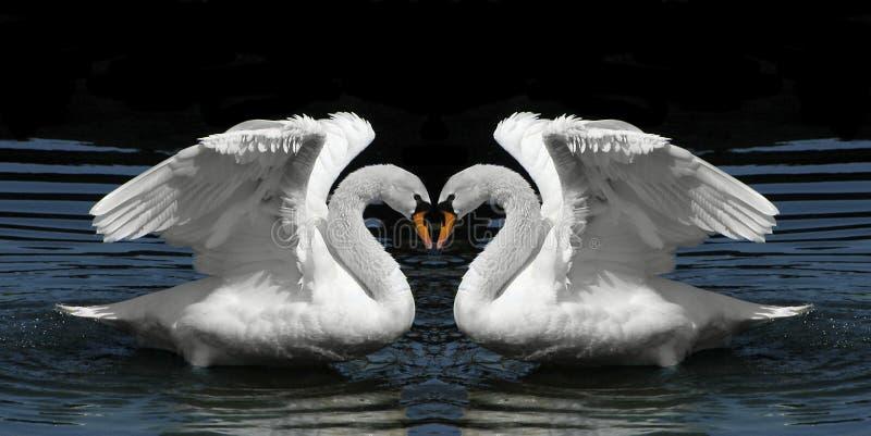 Cisnes gemelos que hacen frente para crear dimensión de una variable del corazón imagenes de archivo
