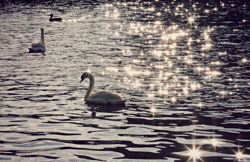 Cisnes hermosos en Europa fotografía de archivo