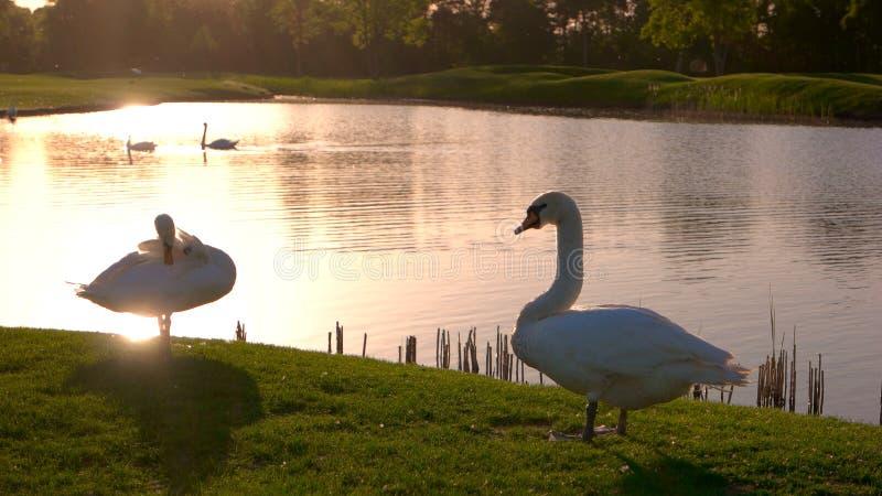 Cisnes hermosos en prado en la puesta del sol fotografía de archivo libre de regalías