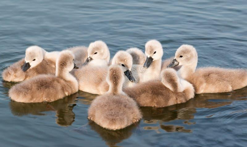 Cisnes jovenes imagenes de archivo