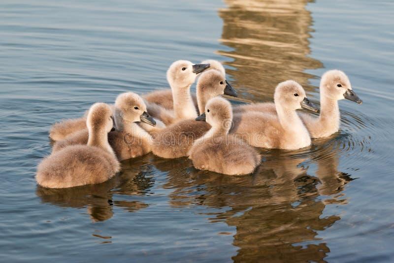 Cisnes jovenes fotos de archivo