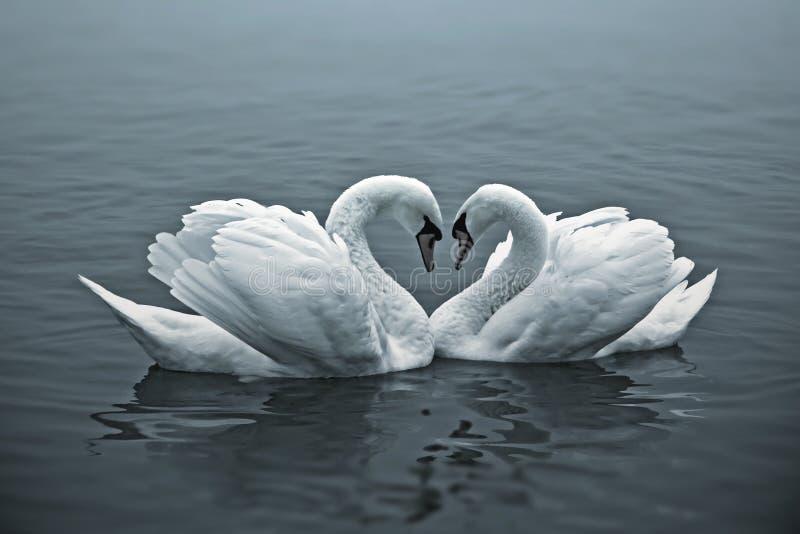 Cisnes loving imagem de stock royalty free