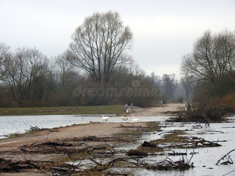 Cisnes, maneira no tempo da inundação e árvores, Lituânia fotos de stock royalty free
