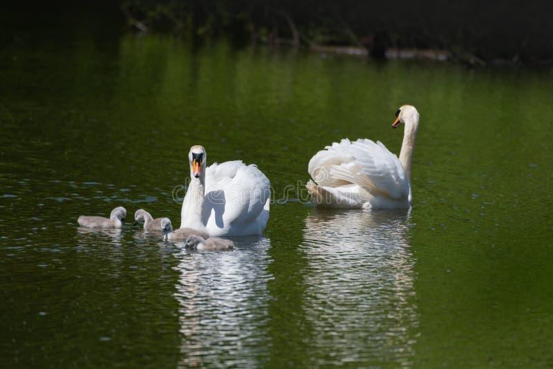 Cisnes mudas com seus cisnes novos fotos de stock royalty free