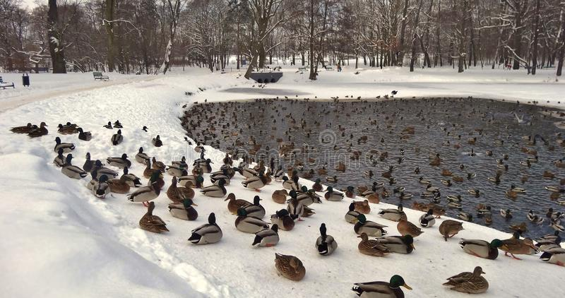 Cisnes mudas e patos no inverno fotos de stock