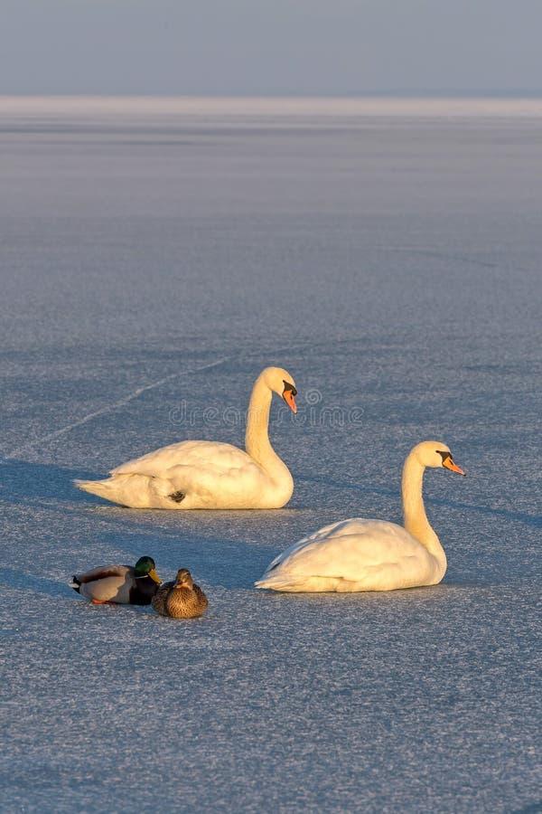 Cisnes mudas e patos selvagens no gelo do lago Balaton em Hungria fotografia de stock
