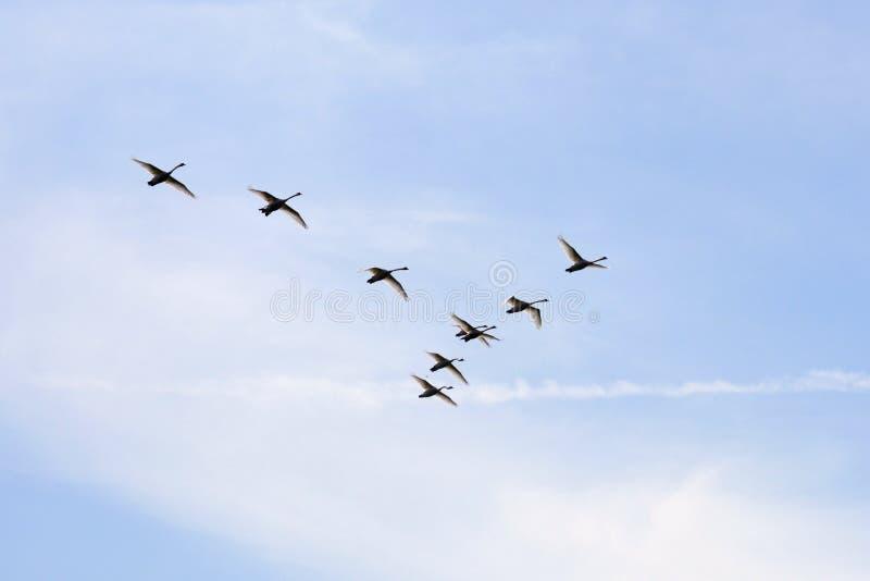 Cisnes mudas em sua maneira foto de stock