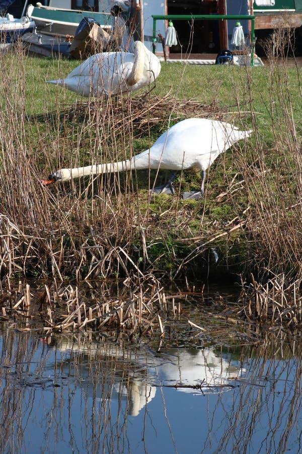 Cisnes mudas que aninham-se pelo canal de Lancaster, Tewitfield imagem de stock royalty free