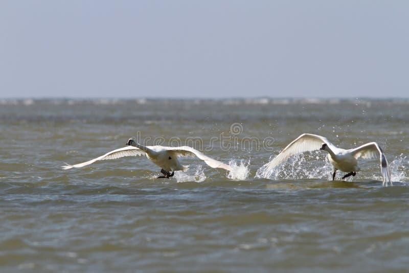 Cisnes mudas que tomam o voo da superfície da água fotografia de stock royalty free
