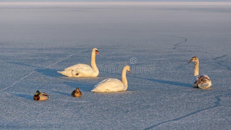 Cisnes mudos y patos salvajes en el hielo del lago Balatón en Hungría foto de archivo