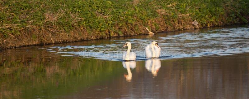 Cisnes na água do parque do país do vale de Sandwell foto de stock
