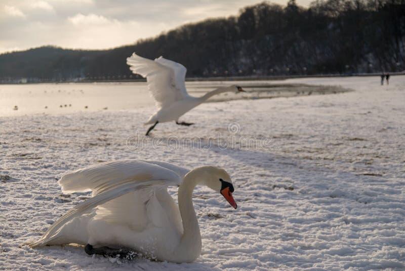 Cisnes na praia coberta na neve foto de stock royalty free